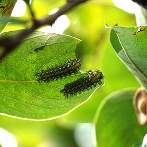 害虫の毛虫